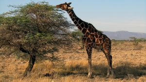 safari, wildlife, hunting, photpgraphy