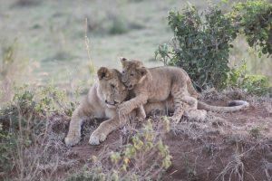 Africa Safari, African Safari, lions
